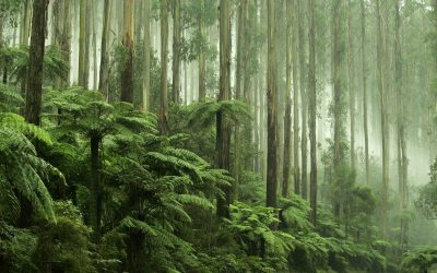 Tall forest_VIC_42075820_Large