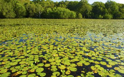 water lillies blanket Keating lagoon, cooktown, queensland, australia. crocodile waterhole vibrant green aussie lake